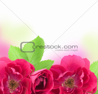 Beautiful  Rose Flowers  Background with copy space for text