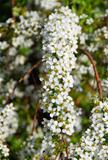 tiny white bridal wreath flower