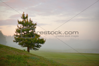 Conifer on misty morning