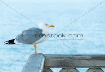 Common sea gull