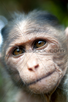 Rhesus Macaque - Macaca mulatta