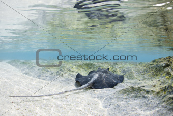 Stingray in Maldives