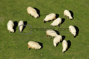 Sheep graze on fresh grass