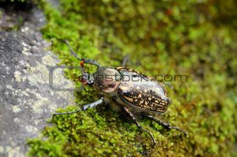 Cheirotonus gestroi beetle