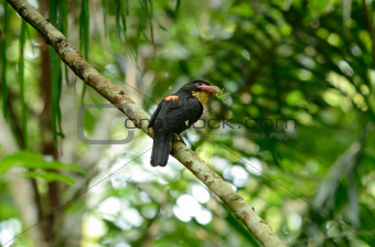 dusky broadbill