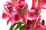 Lilies (alstroemeria) close-up view.