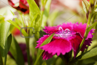 small magenta flowers