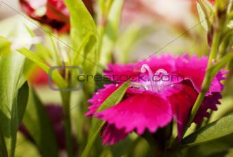 small magenta flowers