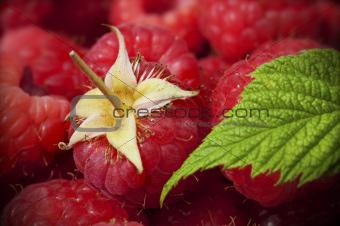 close up of raspberries