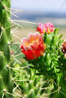 Flower of wild cactus