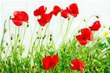 Red poppys on white