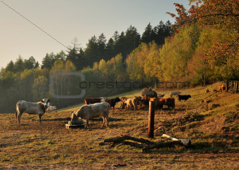 Autumn cattle grazing
