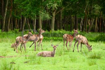deer herd