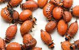 Potato Beetle Larva