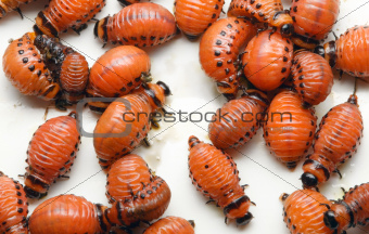 Potato Beetle Larva