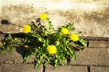 Bloom dandelion sow thistle flower sidewalk tile