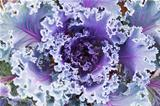 Decorative violet cabbage 