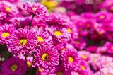 Colorful pink chrysanthemum