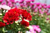 Colorful Red chrysanthemum 