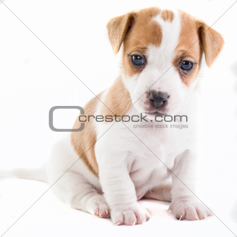 Jack Russel Puppy sitting