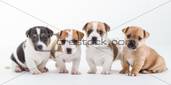 Four Jack Russel pups on a row