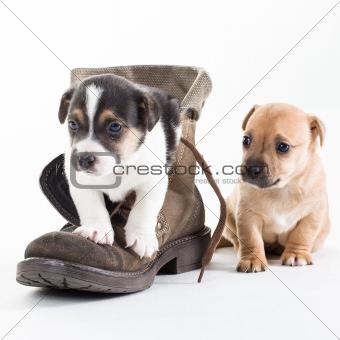 Jack Russles puppies in shoe