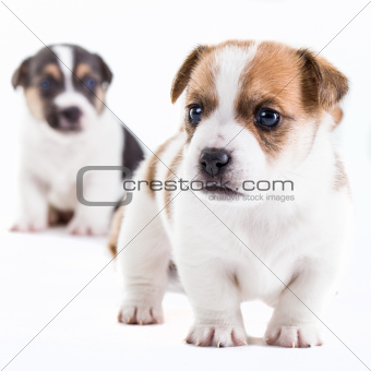 Two brother Jack Russel puppies