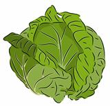 Beautiful vector illustration of colorful fresh cabbage. On a white background.