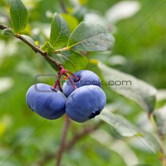 Bog bilberries (Vaccinium uliginosum).