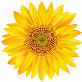 Gold Sunflower