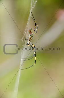 Spider, Nephila clavata