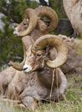 Bighorn Sheeps
