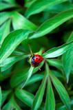 Ladybug on peony bud