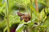 Snail eating leaves and damaging plant