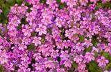 Tapestry of pink bellflowers or Campanula
