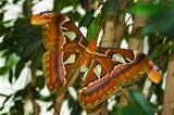 Big Atlas moth or Attacus atlas