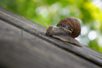 Snail on Wooden Plank
