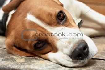 Beagle resting.