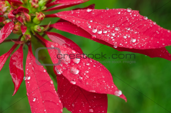 Raindrops on a Poinsettia