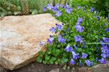 Blue Campanula rock plant