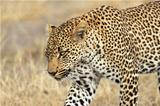 Stalking leopard