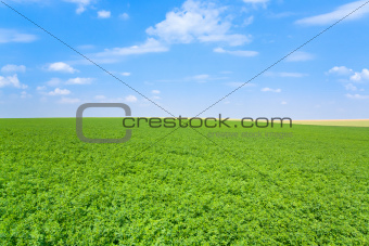 green lucerne field blue sky