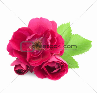 Beautiful  Rose Flowers with leaves isolated on white