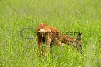Closeup deer grazing