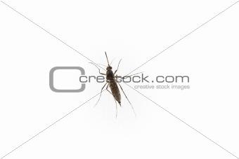mosquito isolated