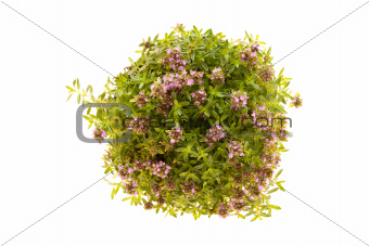 Photo: Thyme Plant In Bloom Isolated 