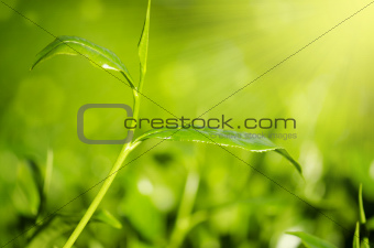 Close up tea leaf
