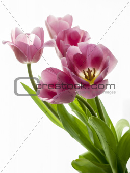 Red tulips on a white background.