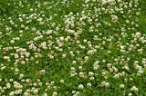 Many white clover flowers