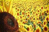 Fantastic sunflowers